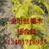 金叶丝棉木