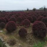 1-1.2米红花继木球 红继木球价格