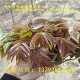 香椿苗,红油香椿树苗