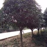 米径12公分八月桂 金桂 银桂  桂花树