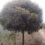 桂花 15公分四季桂四季桂价格  桂花树