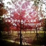 江苏南京美国红枫基地|米径9公分美国红枫
