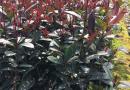 25-30公分高红花继木