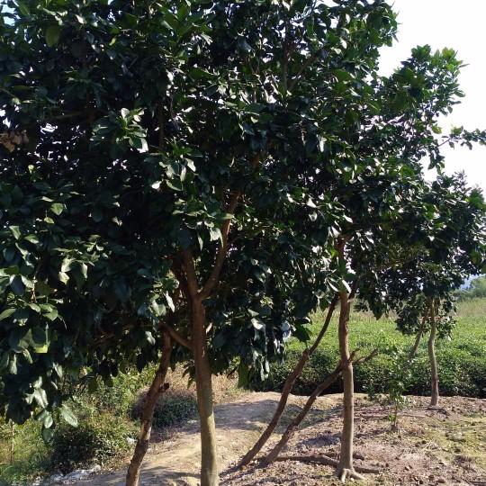 15公分香泡树价格