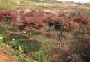 红枫精品冠幅大高度好