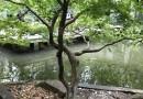 鸡爪槭奇异形状树出售