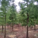 10公分池杉