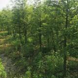 7公分落羽杉
