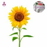向日葵种子