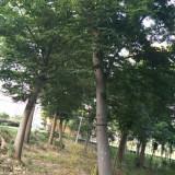 4公分榉树
