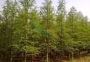 2公分中山杉