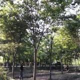2公分榉树