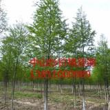 优质8公分中山杉树苗 优质9公分中山杉树苗
