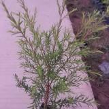 25-30高黄金宝树小苗批发 各种规格千层金价格