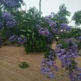 17公分蓝花楹树价格