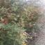 处理3公分垃圾五角枫占地荒山造林苗