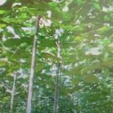 泡桐苗700亩