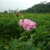 3年玫瑰花苗