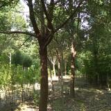 20公分香樟树哪里有 20公分香樟树基地批发