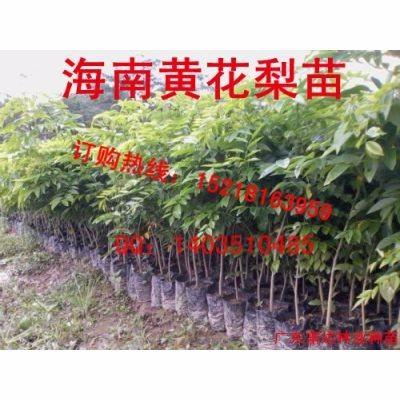 供应黄花梨树苗,海南黄花梨树苗基地