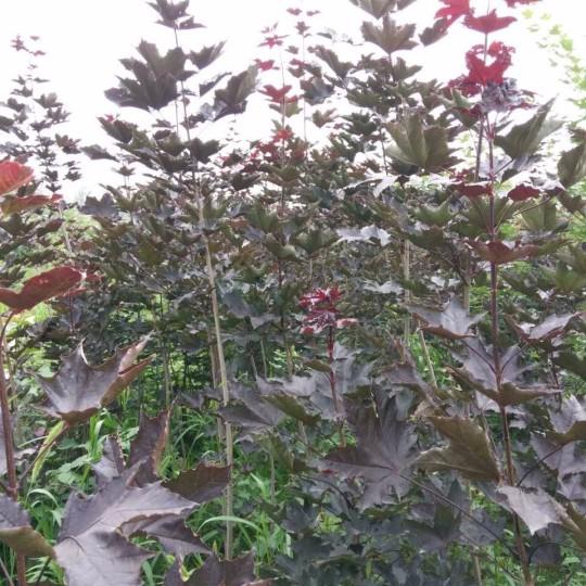 米径2公分紫叶挪威槭