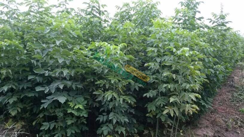 地径0.5公分青竹复叶槭