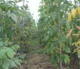 米径6公分复叶槭