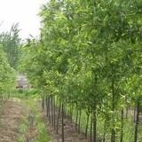 红皮竹柳、绿皮竹柳