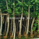 常绿乔木,沙西小叶榕,细叶榕绿化苗木