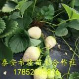 泰安小白草莓苗
