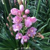 兰花 粉色875
