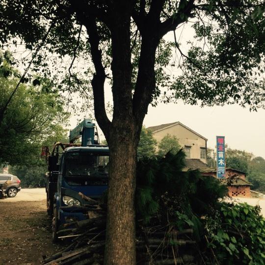 大规格香樟树