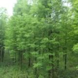 4-15公分水杉价格