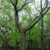 12公分15公分18公分20公分黄连木价格