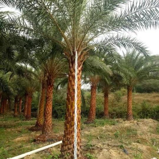 中东海枣(杆高5米)