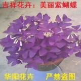 紫蝴蝶彩叶盆栽花卉种球紫叶酢浆草大叶叶四季紫红多年生球根花卉