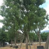 香樟,福建香樟基地,高度3.5米
