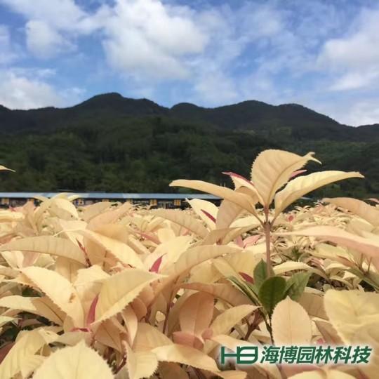 珍珠彩叶桂种苗
