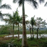 大王椰子,杆高3米