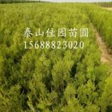 侧柏苗价格荒山造林用侧柏树苗多少钱一棵泰安供应侧柏苗