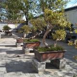 树形金银花盆景