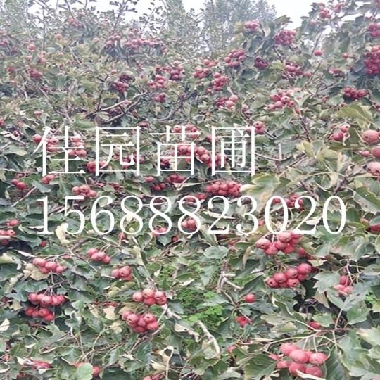 甜红子山楂树价格大金星山楂树价格