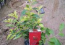 黄心梅,高度(20-30cm)地被苗
