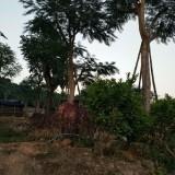 凤凰木,高度(2米5)
