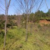 福建山樱花,地径3cm
