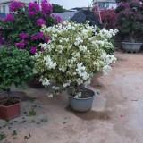 白花三角梅(高度50厘米)