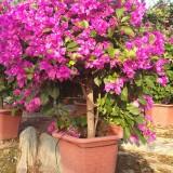 漳州紫三角梅 60公分高紫花三角梅