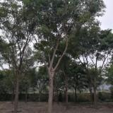 红皮榕(米径8公分)
