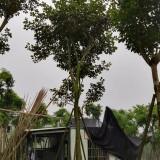 黄花风铃木(米径15公分)