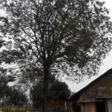 老家皂角树
